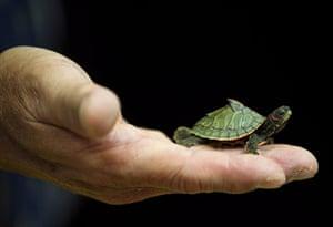 Week in wildlife: Thai Customs seized Turtles and False Gavials in Bangkok.