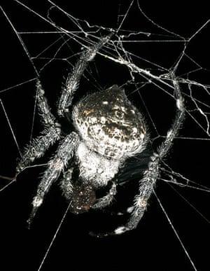 New species: Darwin's Bark Spider