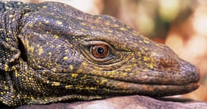 New species: Golden Spotted Monitor Lizard