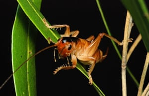 New species: Pollinating Cricket
