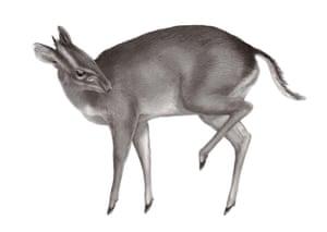 New species: Walter's Duiker