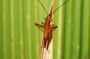 New species: Jumping Cockroach