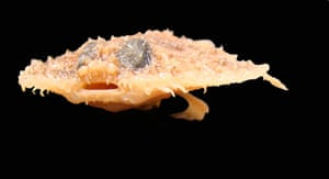 New species: Pancake Batfish
