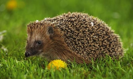 hedgehog sitting on meadow