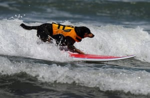 Surfing Dogs: 6th annual Surfing Dogs competition