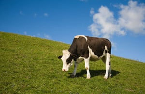 Literary picnics: Grevie Backar nature reserve grazing cattle heifer