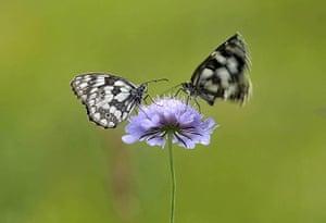 Week in wildlife: Butterflies are seen on a flower in a meadow near the village of Ravnica