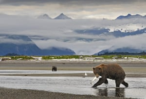 Week in wildlife: Grizzly Bears Hunting for fish, Alaska