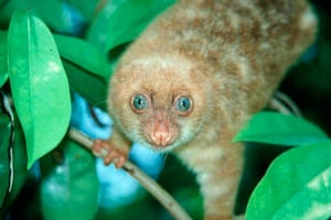 Week in wildlife: a blue-eyed spotted Cuscus