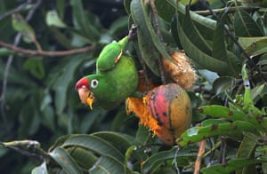 Week in wildlife: A parrot eat mangos in San Jose, Costa Rica