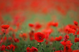 Week in wildlife: Poppies Grow In Fields Ahead Of Armed Forces Day
