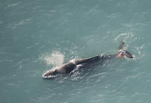 Week in wildlife: A Humpback whale entangled in craypot and buoy near Kaikoura, New Zealand