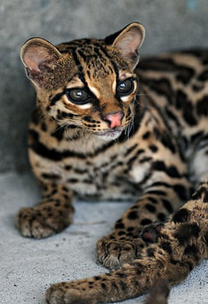 Week in wildlife: An ocelot (Leopardus pardalis) in Animal Rescue Center Managua