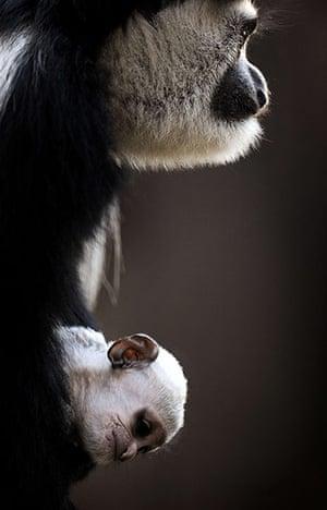 Week in wildlife:  Black and White Colobus Monkeys