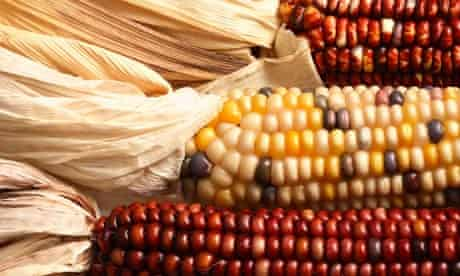 Calico or Indian corn