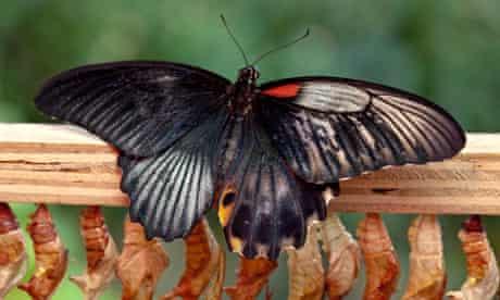 Gynandromorph butterfly