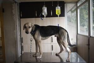 FTA: Behrouz Mehri: Gabik, a Doberman-German Shepherd dog receives serum at Tehran Pet Hospital