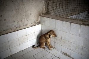 FTA: Behrouz Mehri: A stray dog sits at the Vafa animal shelter in the town of Hashtgerd