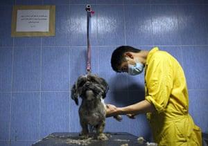 FTA: Behrouz Mehri: An Iranian man trims Jessi, a terrier dog at Tehran Pet Hospital