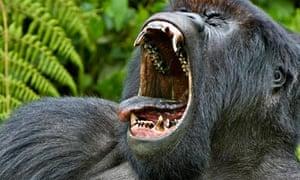 Adult silverback mountain gorilla yawning