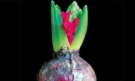 Hyacinth bulb opening