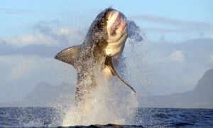 Great white shark jumps from sea into research boat | World