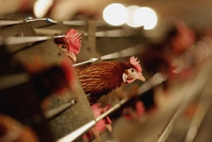 Balcombe: Battery hens in a chicken shed