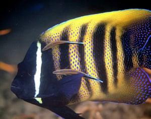 Balcombe: Six-barred angelfish