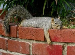 Balcombe: Western gray squirrel