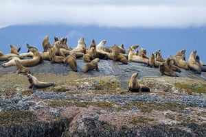 Canada Parks: Sea Lions in Gwaii Haanas National park