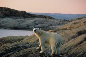 Canada Parks: A polar bear at Ukkusiksalik National Park