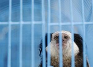 animal smuggling: A black-tufted marmoset
