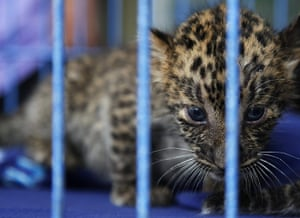 animal smuggling: A two-month-old leopard cub