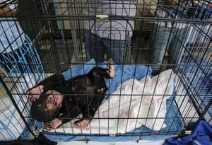 animal smuggling: A three-month old Malayan sun bear