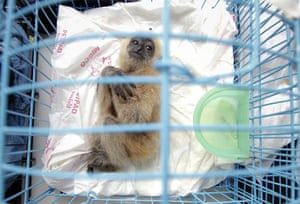 animal smuggling: A three-month old white-cheeked gibbon
