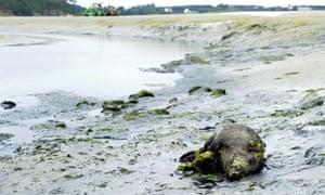 Dead boar on Brittany coast and toxic algae