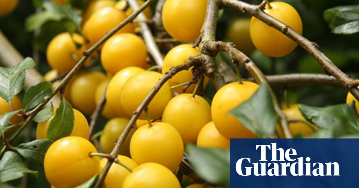 How To Make Cherry Plum Wine Food The Guardian