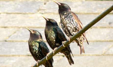 starlings-on-a-wire