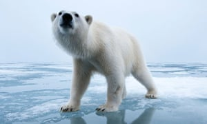 Polar Bears May Need To Be Fed By Humans To Survive Say - 32 bears decided try human