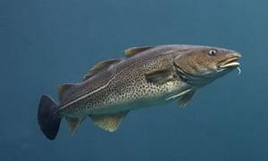Atlantic cod swimming
