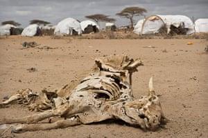 Dadaab camp, Kenya: Carcus of cattle Dadaab camp, Kenya