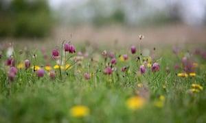 Snake's head fritillary in a wildflower meadow