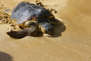 week in wildlife: A loggerhead turtle reaches the water at Gnejna Bay, in the north of Malta