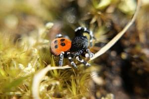week in wildlife: Ladybird spiders new home