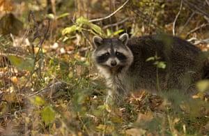 week in wildlife:  a raccoon in Anne Arundel County