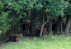 week in wildlife: European bisons rest in Zidlov reserve , Czech Republic