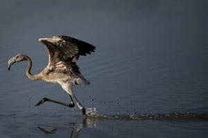 week in wildlife: A flamingo chick runs on the Fuente de Piedra lake