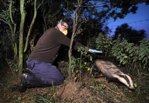 week in wildlife: Badger TB vaccination programme