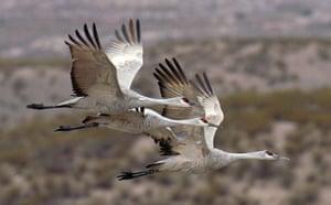 week in wildlife: sandhill cranes in flight