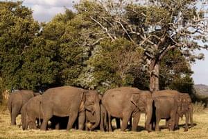 week in wildlife: Asiatic wild elephants gather at a national park in Minneriya,